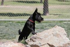 摆在岩石的苏格兰狗小狗在公园 库存图片