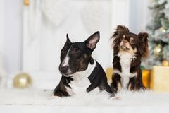 摆在户内为圣诞节的两条狗 库存图片