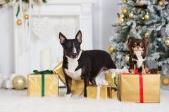 摆在户内为圣诞节的两条狗 免版税库存照片