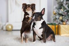 摆在户内为圣诞节的两条狗 免版税图库摄影