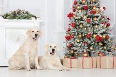 摆在户内为圣诞节的两条金毛猎犬狗 免版税库存图片