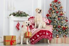 摆在户内为圣诞节的两条金毛猎犬狗 免版税库存照片