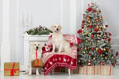 摆在户内新年的两条金毛猎犬狗 免版税图库摄影