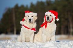 摆在户外在冬天的两条金毛猎犬狗 图库摄影