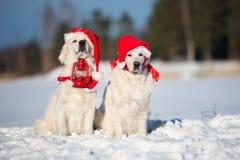 摆在户外在冬天的两条金毛猎犬狗 免版税库存图片