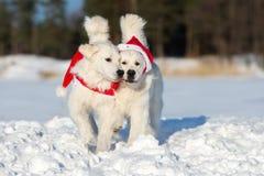 摆在户外在冬天的两条金毛猎犬狗 库存照片