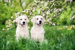 摆在户外在夏天的两条金毛猎犬狗 库存照片