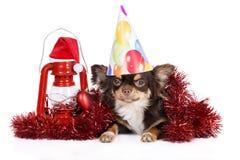摆在新年的奇瓦瓦狗狗 库存照片