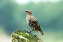 摆在木树桩的少年椋鸟科 免版税库存图片