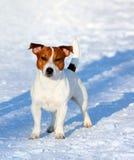 摆在杰克罗素的狗外面 一条白色狗的画象与一个红色头的 免版税图库摄影