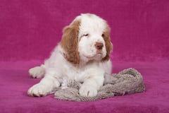 摆在桃红色背景的好的小狗 库存照片