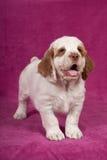摆在桃红色背景的好的小狗 免版税库存照片