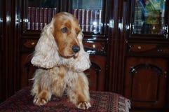 摆在桌上的猎犬在图书馆里 免版税库存照片