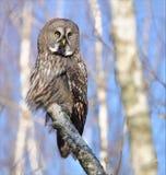 摆在桦树树干的伟大的灰色猫头鹰 免版税库存图片