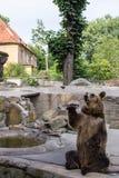 摆在棕熊(熊属类arctos) 免版税库存图片
