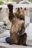 摆在棕熊(熊属类arctos) 免版税库存照片