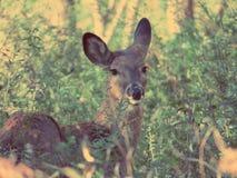 摆在森林的鹿 图库摄影