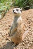 摆在沙子的Meerkat 免版税库存图片