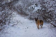 摆在沿一条积雪的道路的德国牧羊犬 库存照片