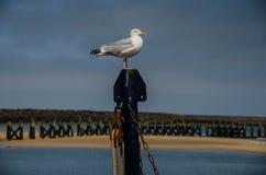 摆在海鸥在诺森伯兰角 库存照片