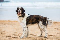 摆在海滩的狗 免版税库存照片
