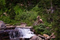 摆在瀑布前面的一只大有角的绵羊 免版税图库摄影