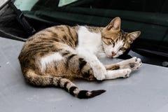 摆在照相机的一只逗人喜爱的猫,当说谎在汽车时 免版税库存图片