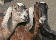 二只母山羊 免版税库存图片
