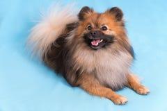 摆在照相机的幼小波美丝毛狗,在蓝色背景 免版税库存照片
