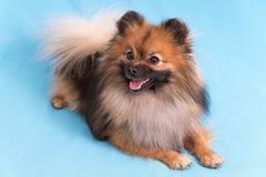 摆在照相机的幼小波美丝毛狗,在蓝色背景 图库摄影