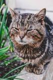 摆在照相机的灰色野生猫 库存图片