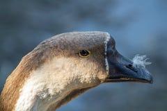 摆在照相机的美丽的鹅 免版税库存图片