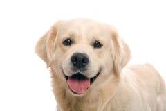 摆在猎犬工作室的金子 库存照片