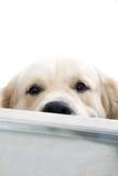 摆在猎犬studi的金子 库存图片