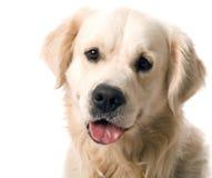 摆在猎犬studi的金子 库存照片