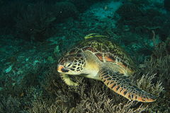 摆在珊瑚的绿海龟 免版税库存照片