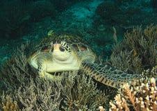 摆在珊瑚的绿海龟 库存照片
