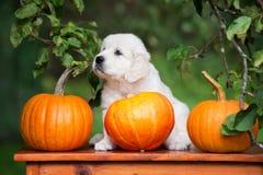 摆在用南瓜的可爱的金毛猎犬小狗 库存图片