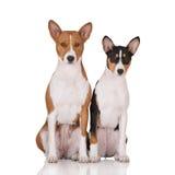 摆在白色的两条basenji狗 库存图片