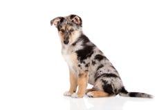 摆在白色的可爱的混杂的品种小狗 免版税库存照片