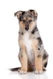 摆在白色的可爱的混杂的品种小狗 库存照片