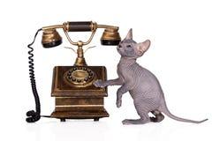 摆在白色的可爱的sphynx小猫 免版税图库摄影
