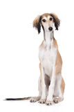 摆在白色的Saluki小狗 库存图片