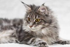 摆在白色背景毛皮的大缅因树狸猫 免版税库存照片