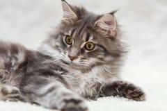 摆在白色背景毛皮的灰色缅因浣熊小猫 库存照片