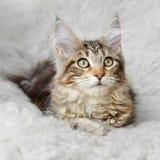 摆在白色背景毛皮的银色黑小猫缅因浣熊 免版税图库摄影
