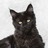 摆在白色背景毛皮的黑缅因树狸猫 库存照片