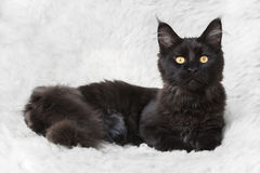 摆在白色背景毛皮的黑缅因树狸猫 免版税库存照片