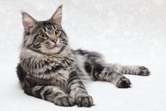 摆在白色背景的大黑平纹缅因树狸猫 免版税库存图片