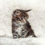 摆在白色背景的小缅因浣熊小猫 免版税库存图片